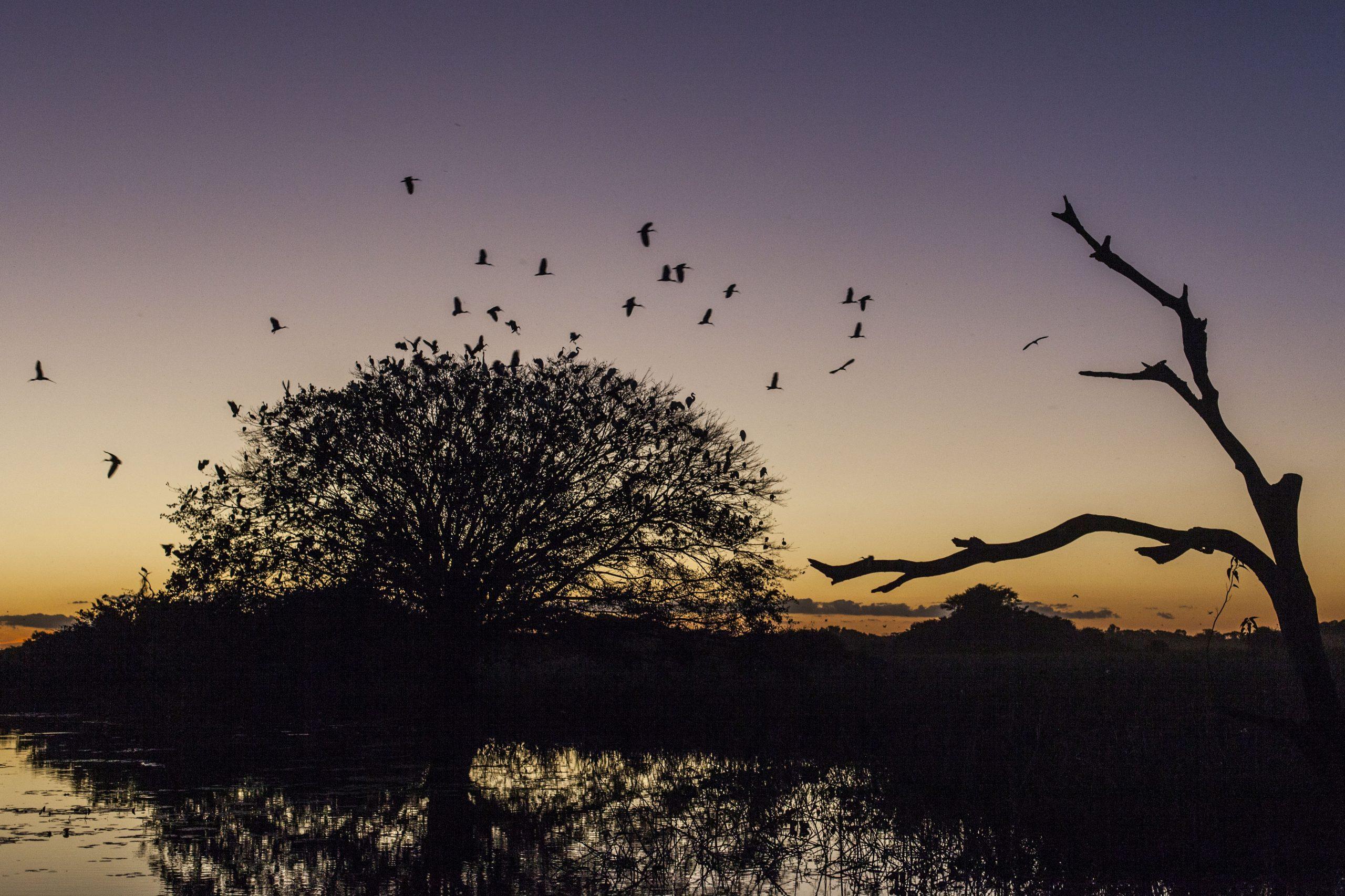 Revoada de tapicurus no Pantanal em Poconé, Mato Grosso