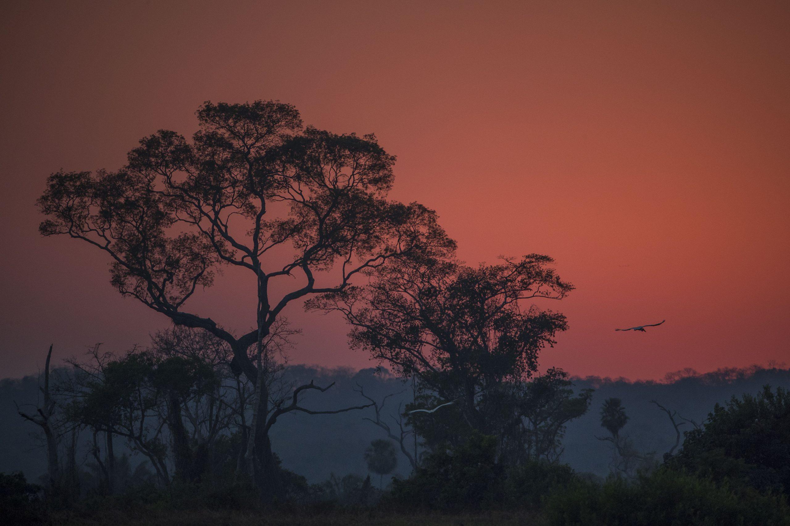 Piúvas no amanhecer às margens do rio Paraguai. Pantanal de Cáceres, Mato Grosso