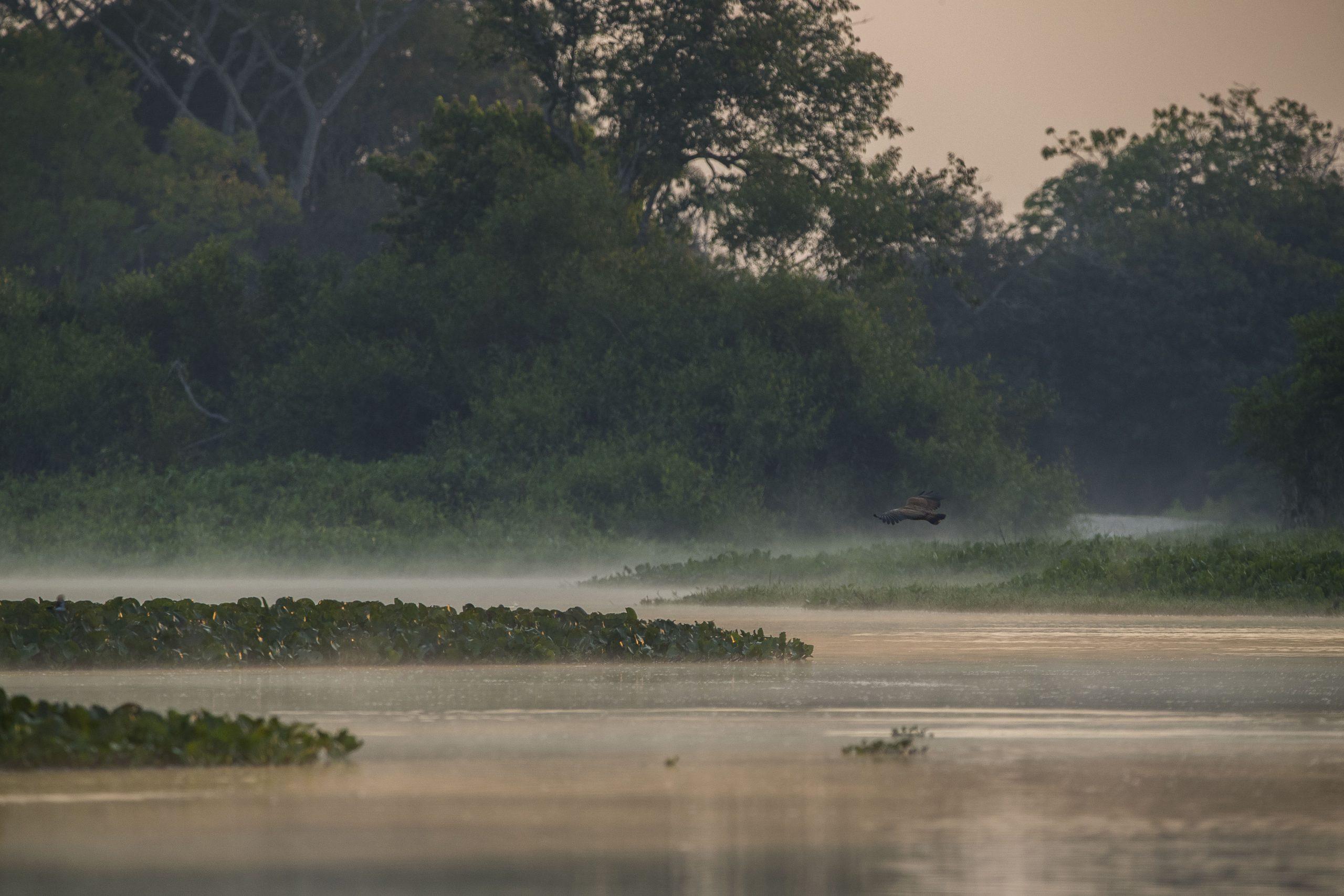 Gavião-belo caçando nas brumas do amanhecer no rio Paraguai. Pantanal de Cáceres, Mato Grosso