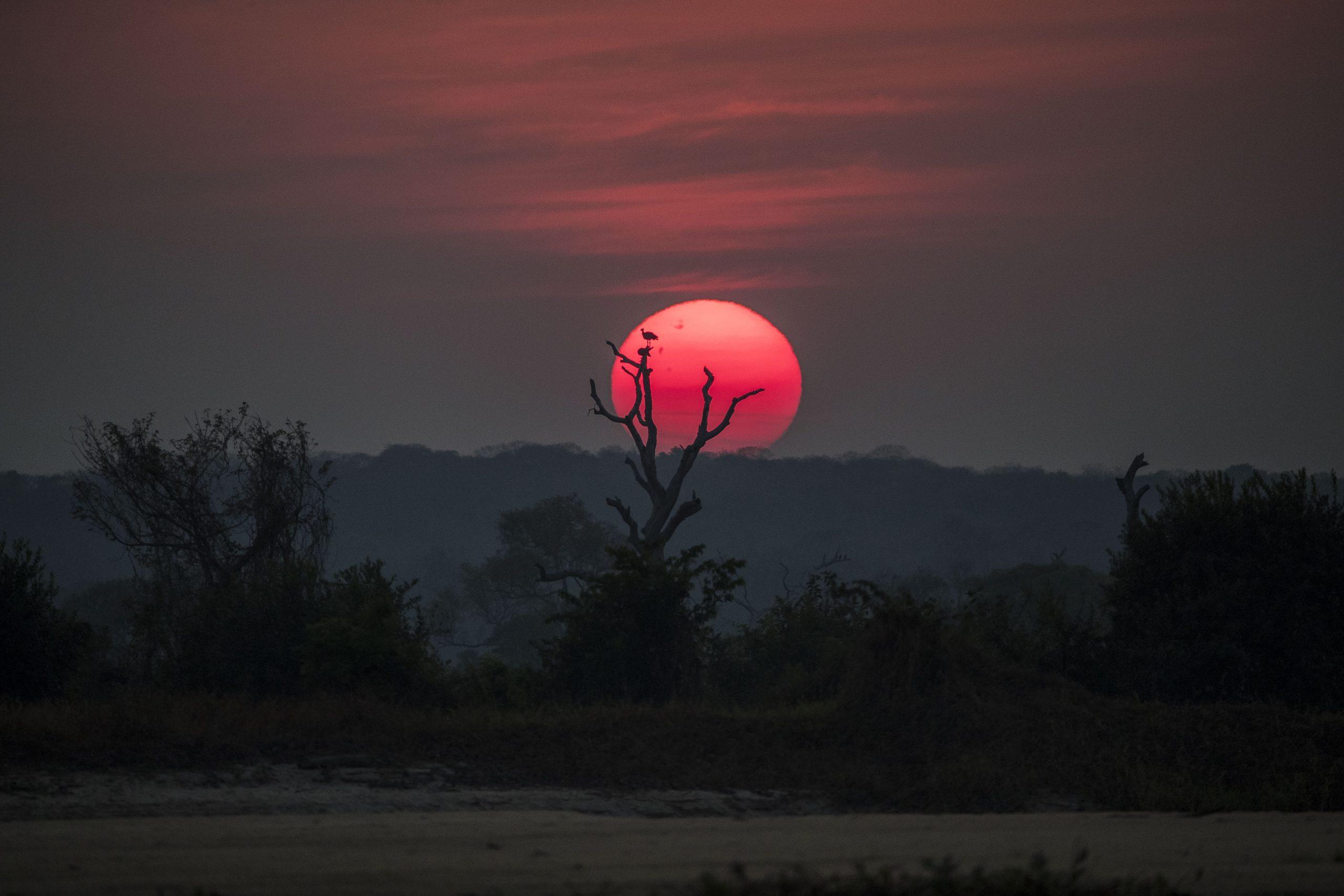 Tachã em árvore seca às margens do rio Paraguai. Pantanal de Cáceres, Mato Grosso