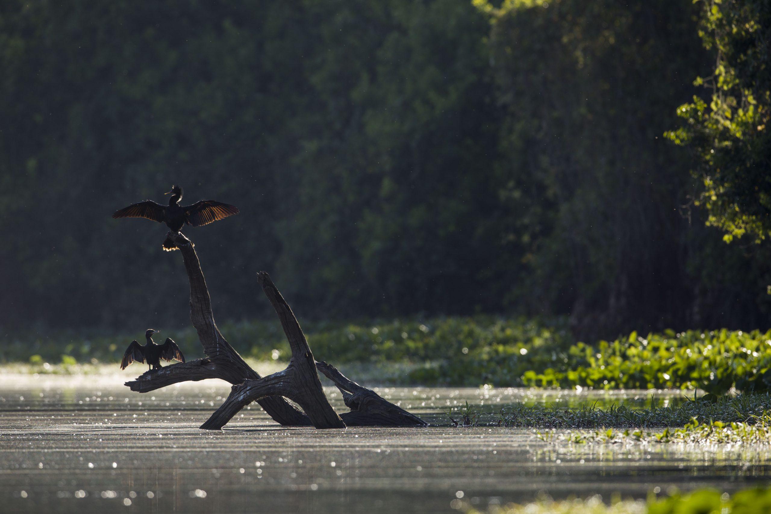Biguás secando suas asas em lagoa marginal do rio Paraguai. Pantanal de Cáceres, Mato Grosso